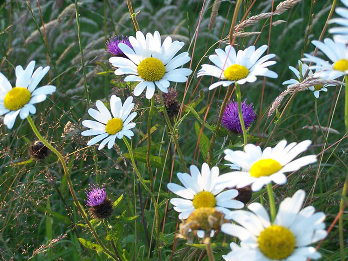 Wildflowers - oxeye daisies and knapweed