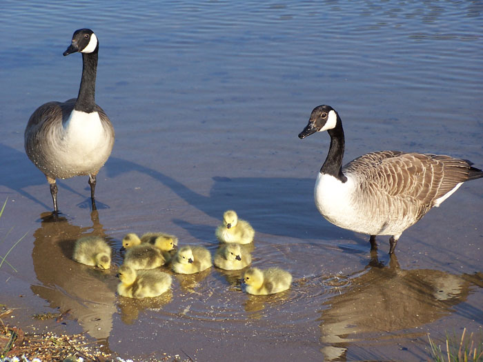 Wildlife - Canada geese and goslings