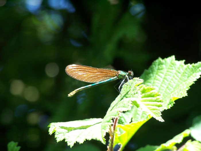 Beautiful demoiselle damselfly